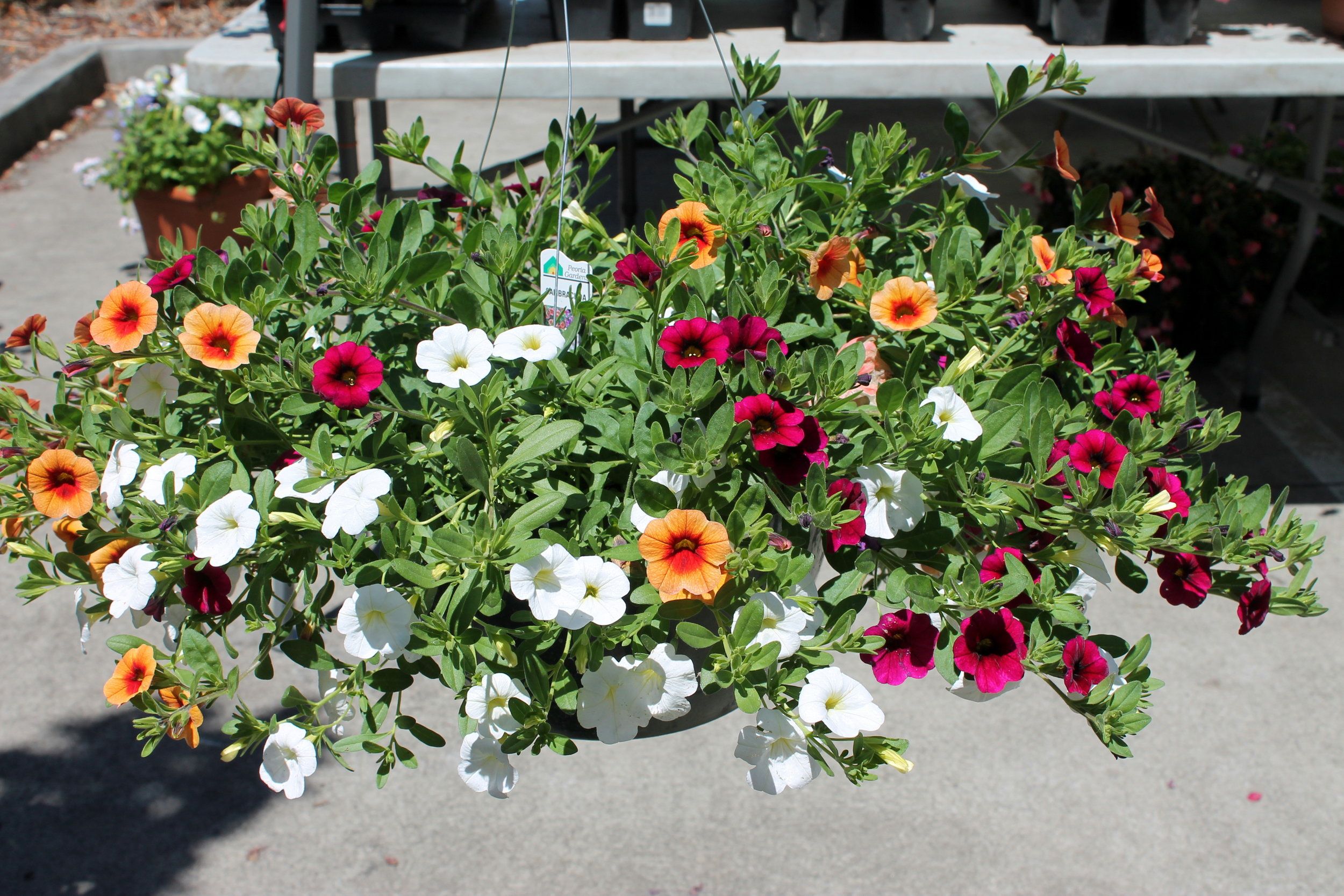 "Flowering Baskets may differ in composition of species and ""basket"" size due to wholesale vendor assortment, seasonal and weather factors and vendor variations of production."