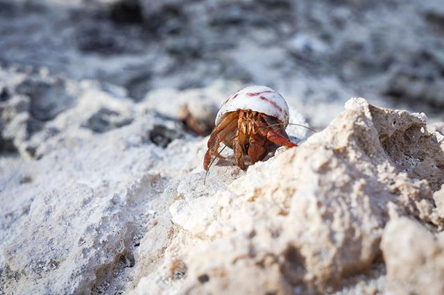 "Hermit crabs use sea shells as mobil homes. As the crab grows, they must find a new shell to call home. Who has seen BBC's video ""Amazing Crabs Shell Exchange""? #highlyrecommend"
