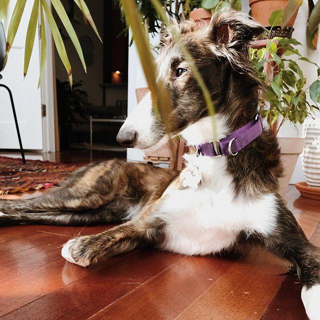 Fresh off her meditation retreat. #pensivepup #glamourshot @sadie_scoots