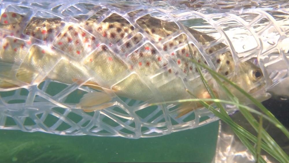 brown-trout-underwater.jpg