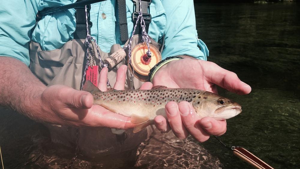 brown-trout.jpg