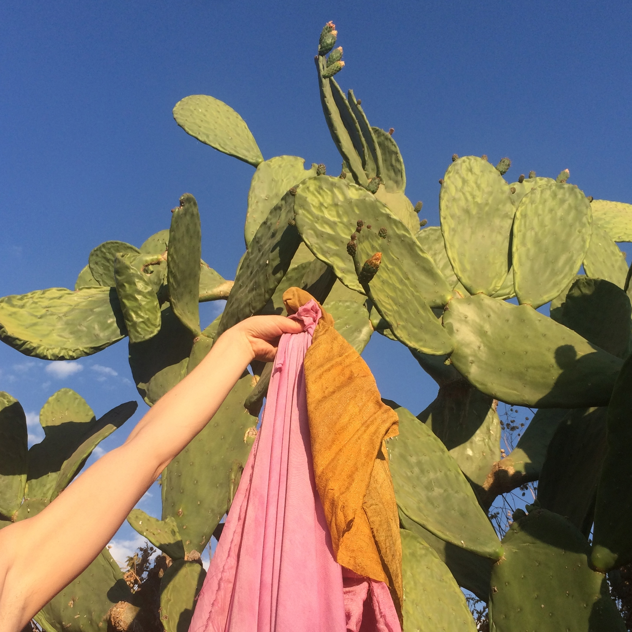 Cochineal  Cochineal dye can yield pink, red and purple. The dye comes from the shells of the Cochineal beetle that feast on Prickly Pear cactus.