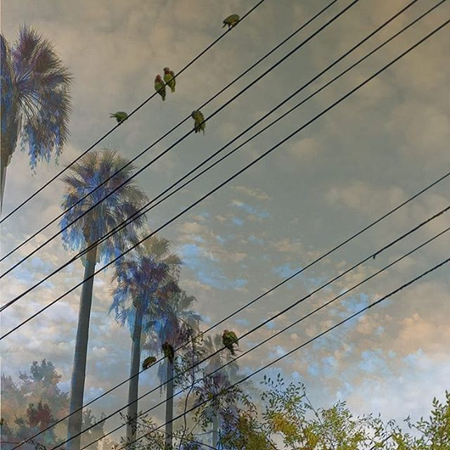 Thick air on Thin Lines 🌴🐦 #2018 #climatechange #environment #enviromentalrefugees #birdmigration #parrots #palmtrees #lines #green #sky #collageart #bealamar #photography #analog #collage #parrotsofinstagram #consequences #ourplanet #climate #cleanair #california