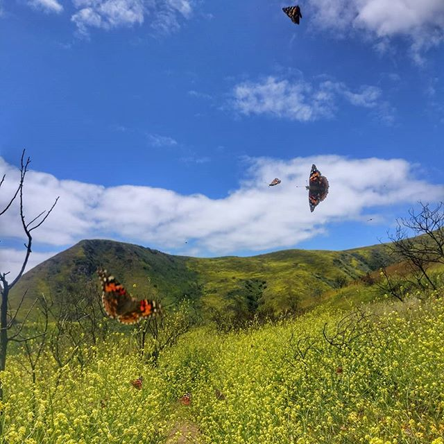 The sun is finally back in LA ☀️🌼☀️ 🦋🦋🦋 #cellphonephotography #butterflies #flutter