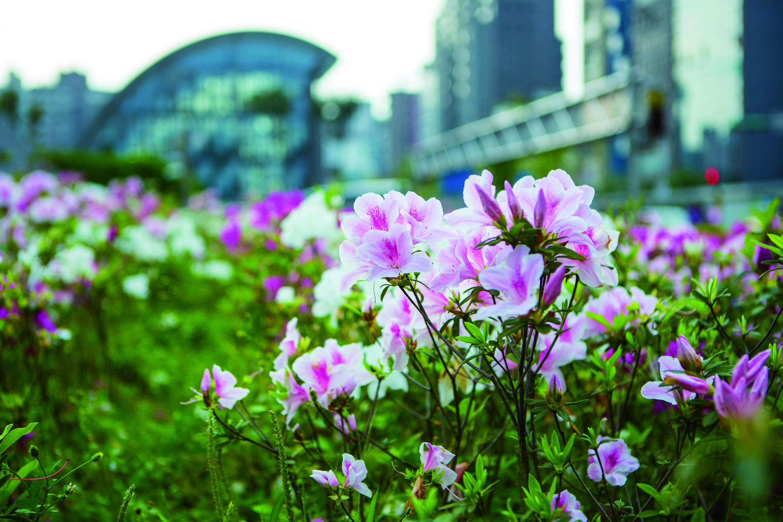 9、jeff26781-何承勳-大安森林公園杜鵑花-城市裡的主角.jpg