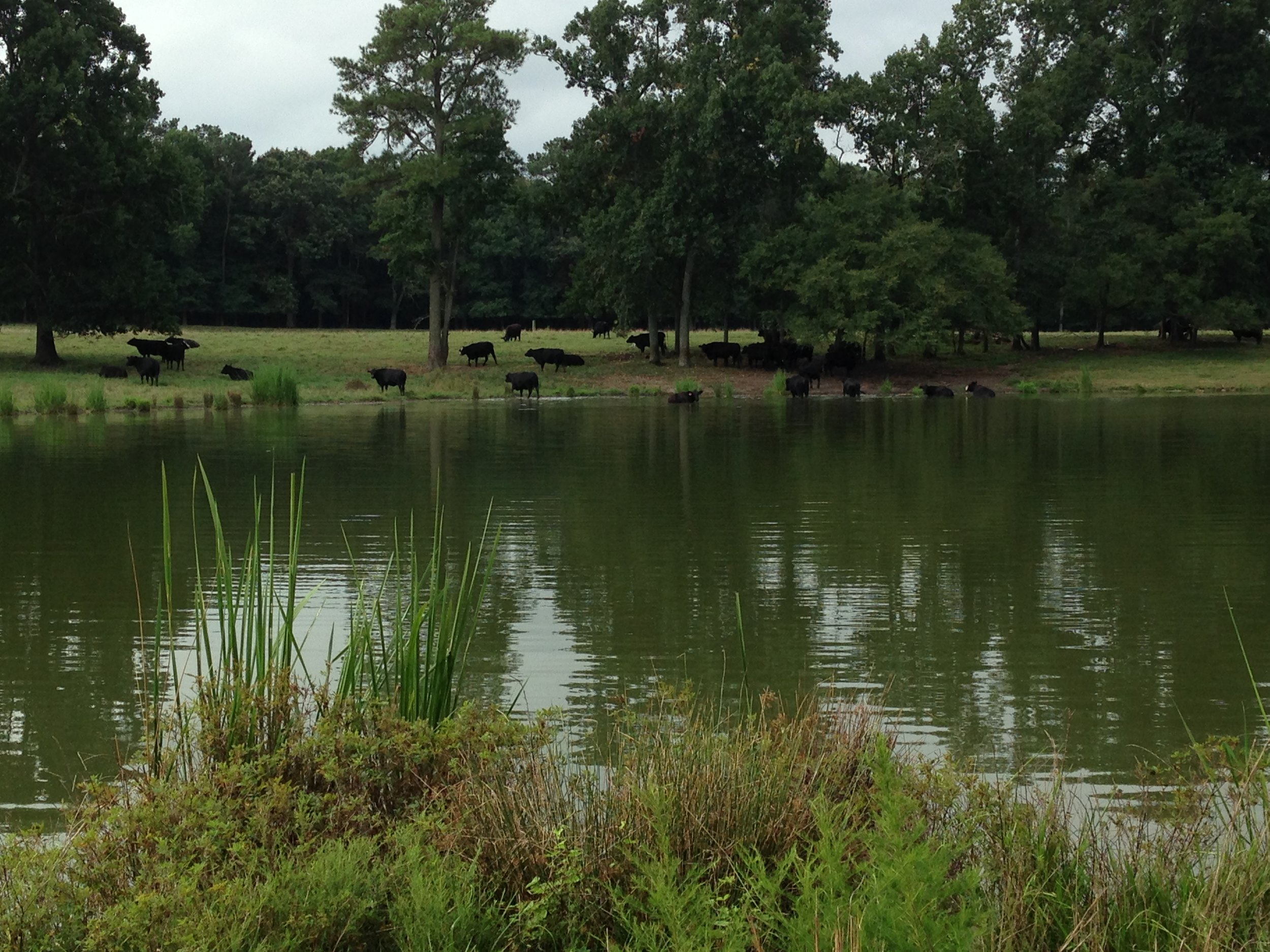 shows lake - dam removal and cattle.JPG