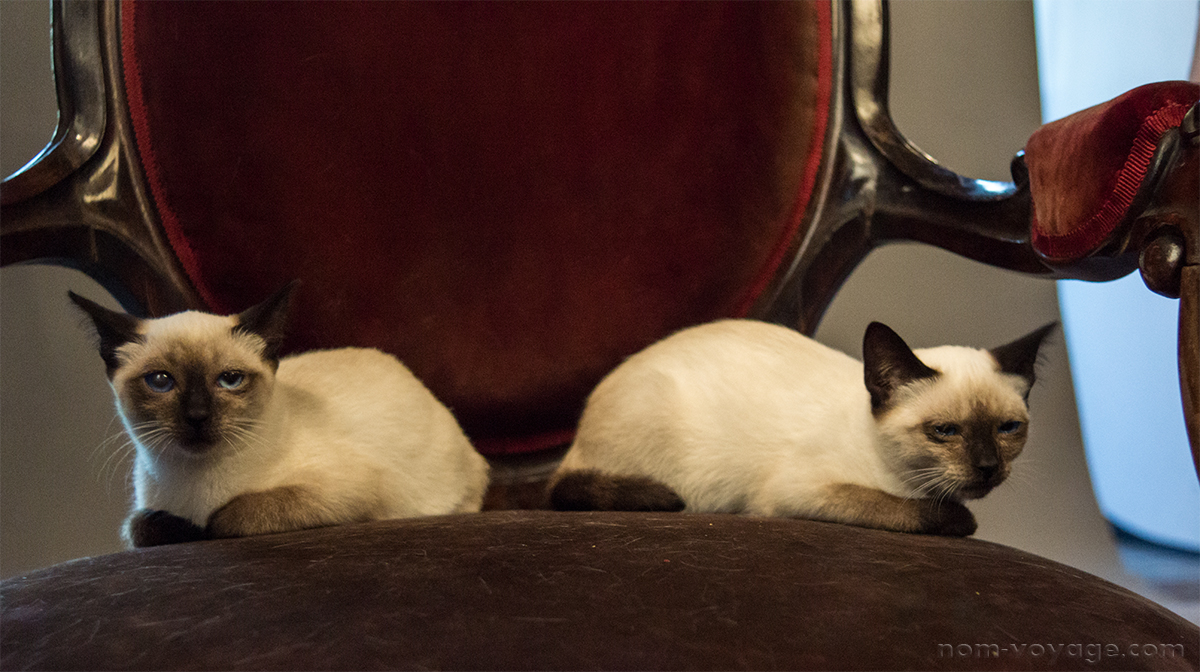 These two Siamese cats, Camilla and Skeeter,are still looking for a home. Adopt them today before I am forced to increase my home's cat population by 100%!