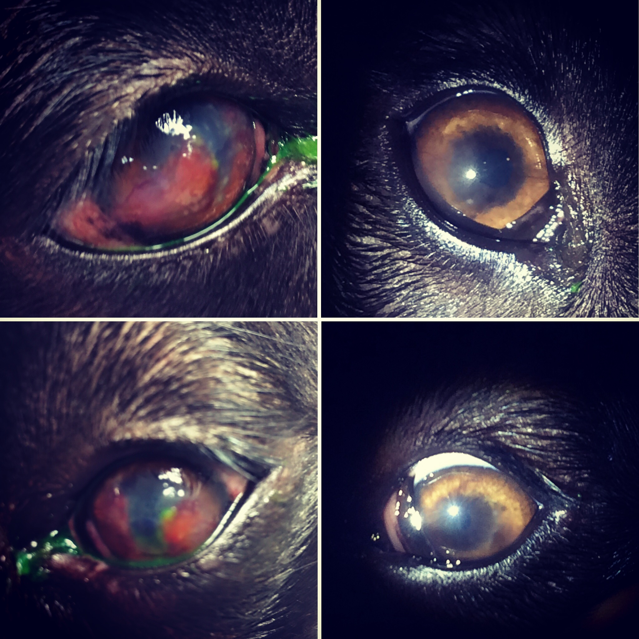 What is Chronic Superficial Keratitis (CSK)?      CSK (also referred to as pannus or degenerative pannus)  is a slowly progressive disease of the canine cornea, characterized by pigmentation, vascularization, and opacification.  There is also a form of this disease which affects the third eyelid called plasmoma.  CSK is seen predominantly in the German shepherd dog and greyhound, but sporadic cases occur in other breeds as well.                                                          Causes  The exact mechanism is unknown, but several factors are involved. The fact that certain breeds are more prone to the disease suggests a genetic predisposition. Ultraviolet (UV) radiation plays an important role as an inciting and propagating factor in the disease. In fact, dogs living at higher altitudes where exposure to UV light is greater are often more severely affected. Immunologic factors are also believed to be contributory. An allergic-type reaction to environmental allergens or against the cornea itself may be involved in the disease process.    Symptoms    The most common sign is infiltration of the cornea with blood vessels and pigment. This gives the eye a visible discoloration. The change normally begins at the outside or bottom of the cornea and moves inward. In some cases the pigment can be so severe that it leads to vision loss. Reddening, thickening, and pigment loss of the third eyelid characterize a subclass of CSK, called plasmoma. Plasmoma is often associated with mucoid discharge from the eye.      Diagnosis  Clinical signs may be enough for diagnosis however it is necessary to rule out other diseases that can have a similar clinical appearance but markedly different treatment. In some cases it is necessary to perform cytology to confirm the diagnosis.   Treatment  A cure is not possible, but life-long medications and prevention of excessive exposure to UV light will prevent the disease from progressing. Common medications include eye drops that control the growth of blood vessels and pigment. These may be steroids or T-cell inhibitors or a combination of both.  Initially the drops may be used quite frequently but over time these can generally be decreased to only once or twice a day therapy. Dogs on long-term medications should be monitored to prevent secondary infections. In very severe cases surgery to decrease the scaring of the cornea may be needed in the initial stages of treatment.   Monitoring   The condition waxes and wanes throughout life, so periodic follow-up is indicated to ensure that your pet is on the most appropriate therapy.