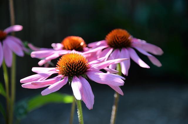 echinacea-purpurea-2912378_640.jpg