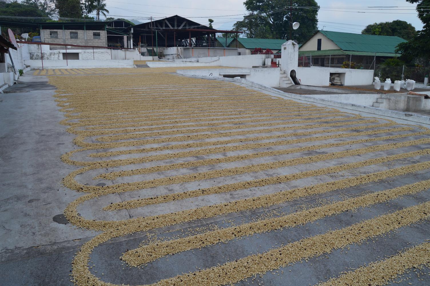 Coffee drying patios at Finca San Jerónimo Miramar