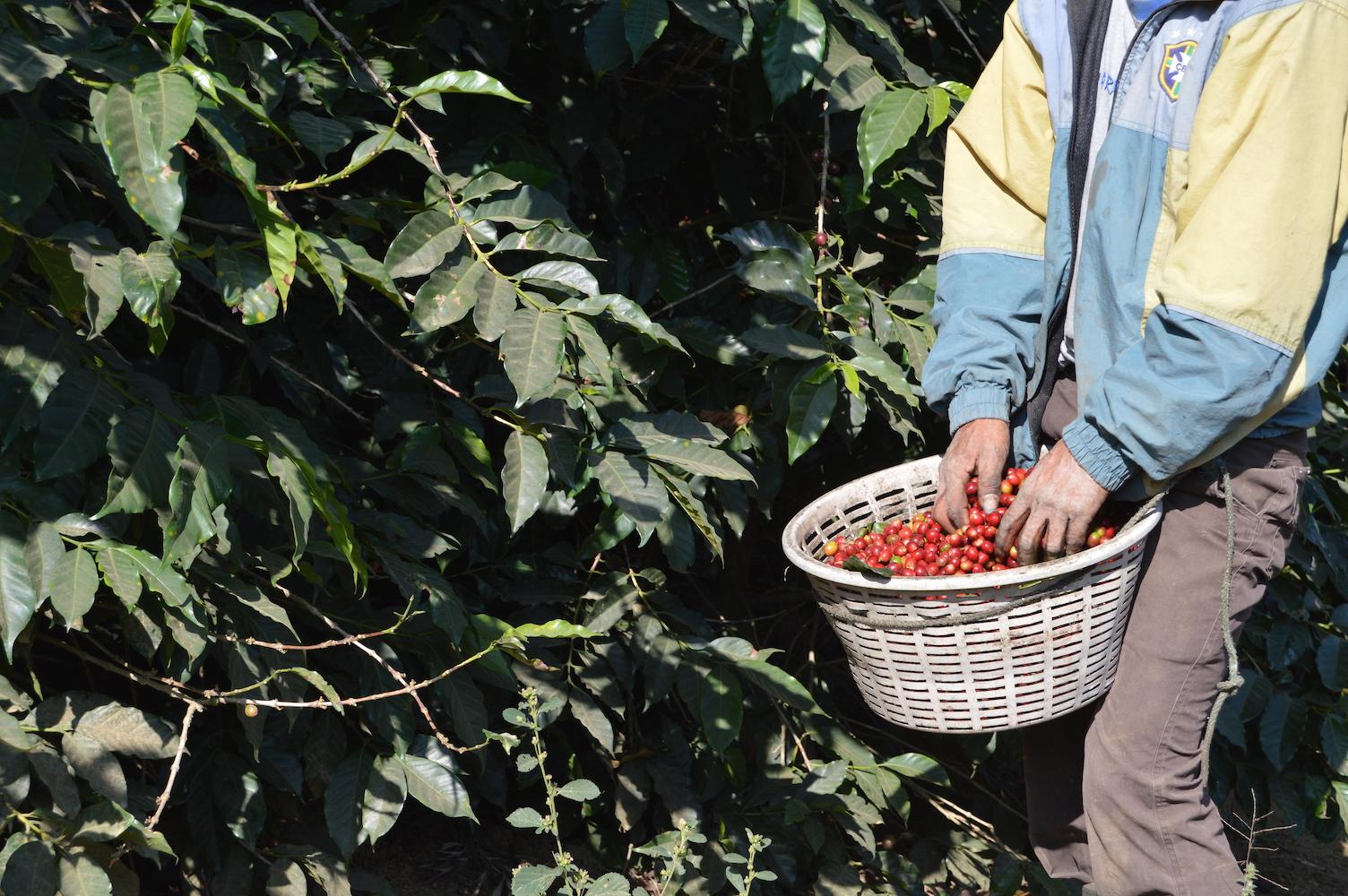 Harvesting coffee