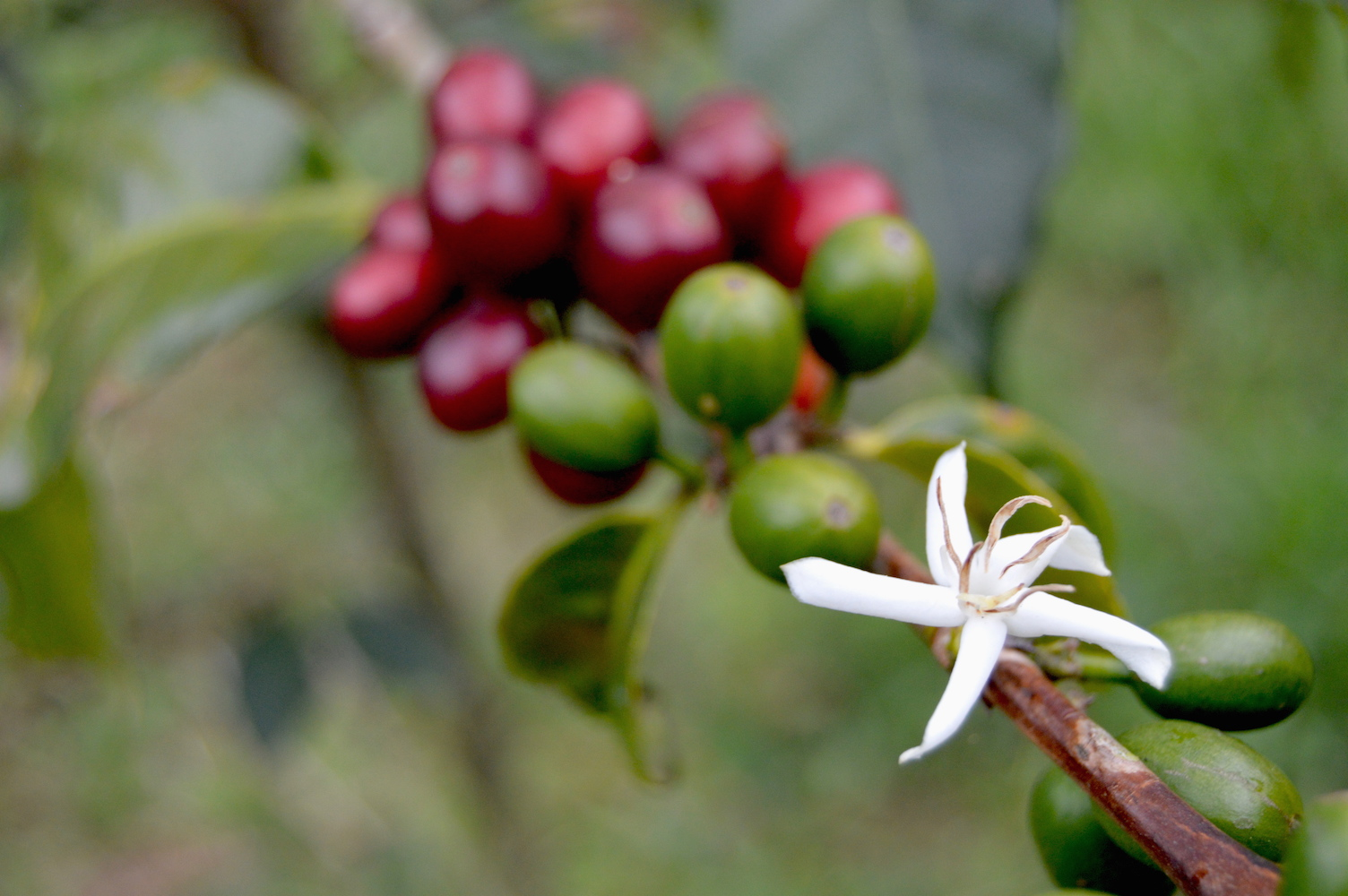The beauty of the spectrum of coffee plant ripeness