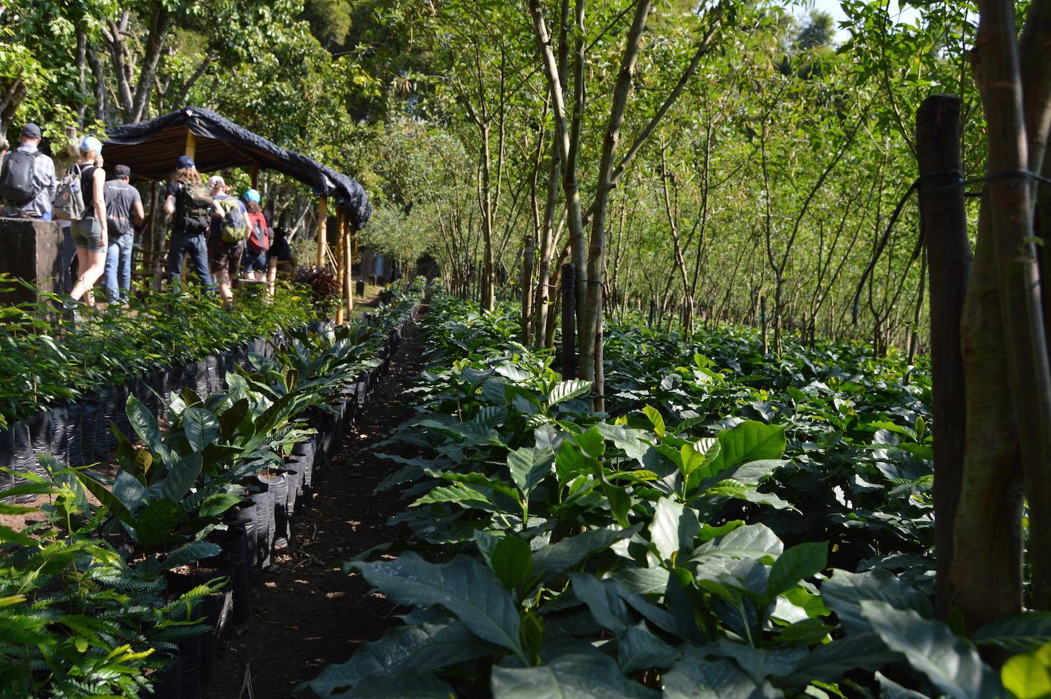 The coffee plant nursery at Finca San Jerónimo Miramar