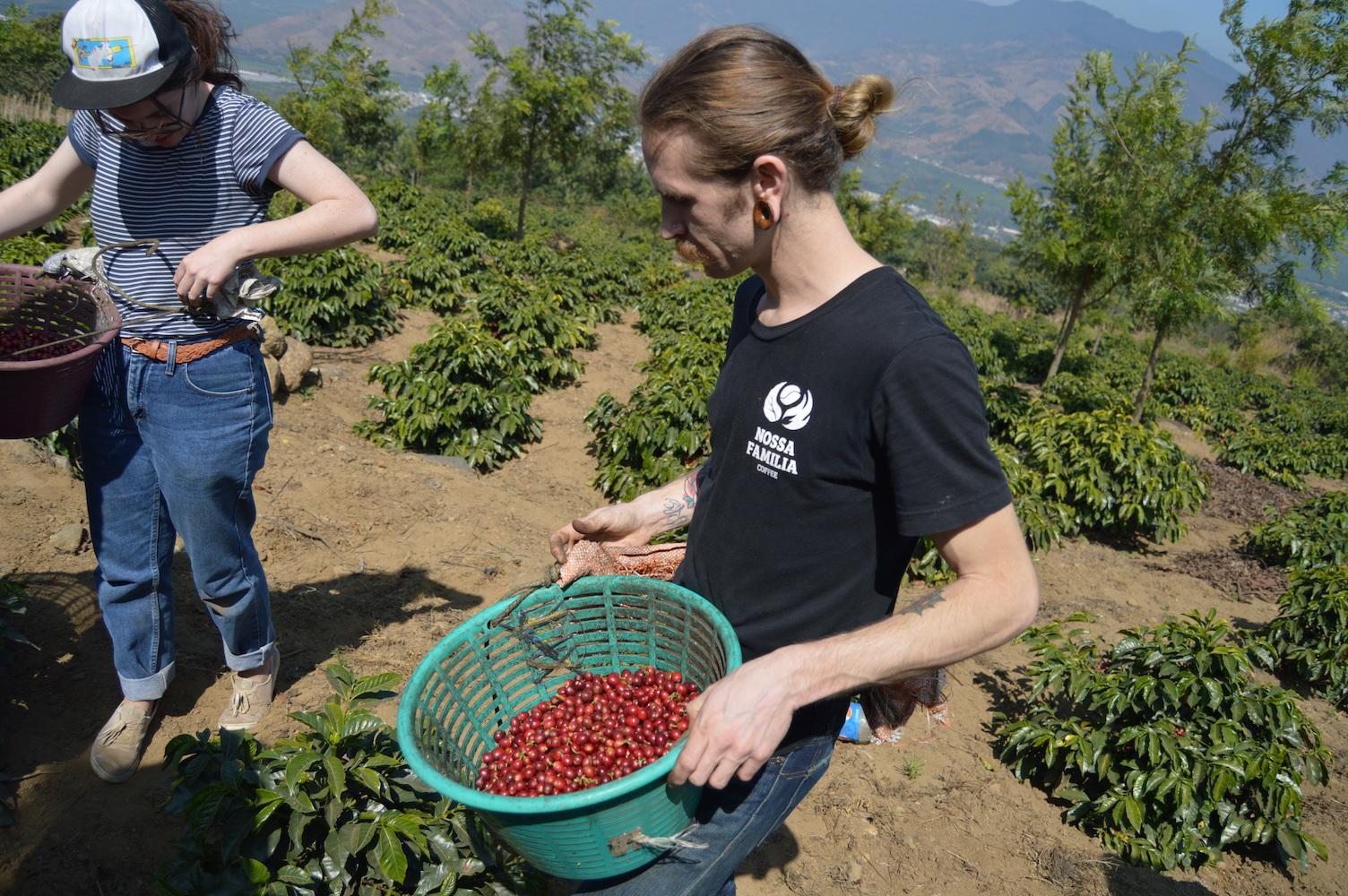 Nossa Familia barista & roaster Kyle harvests coffee cherries
