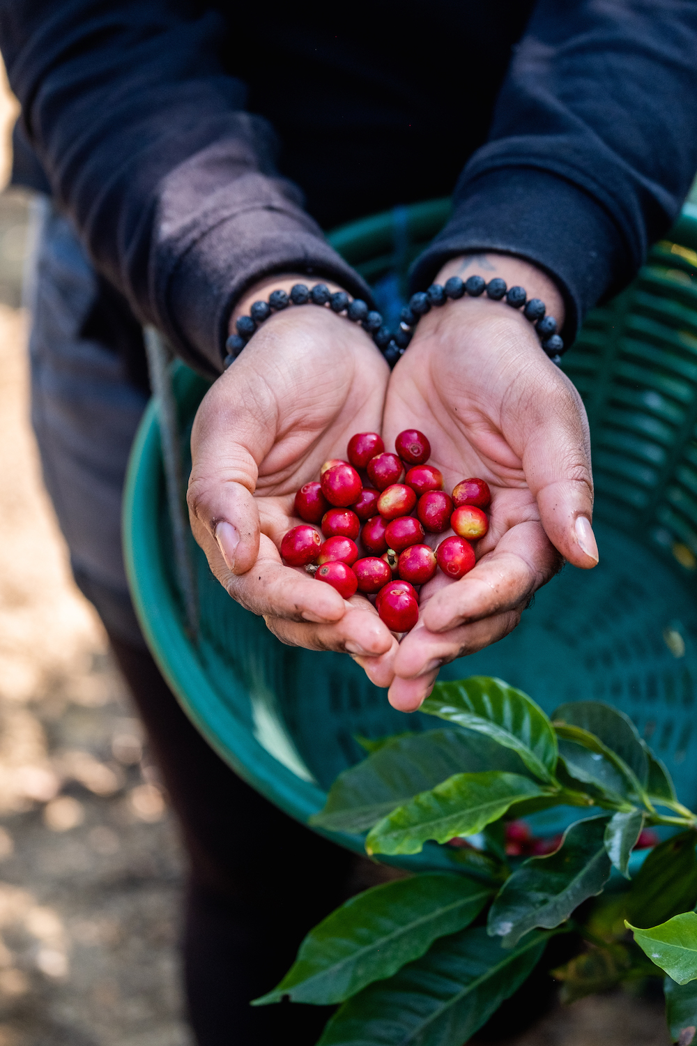 Holding freshly-picked ripe coffee cherries at a coffee farm (finca) in the Antigua region of Guatemala.