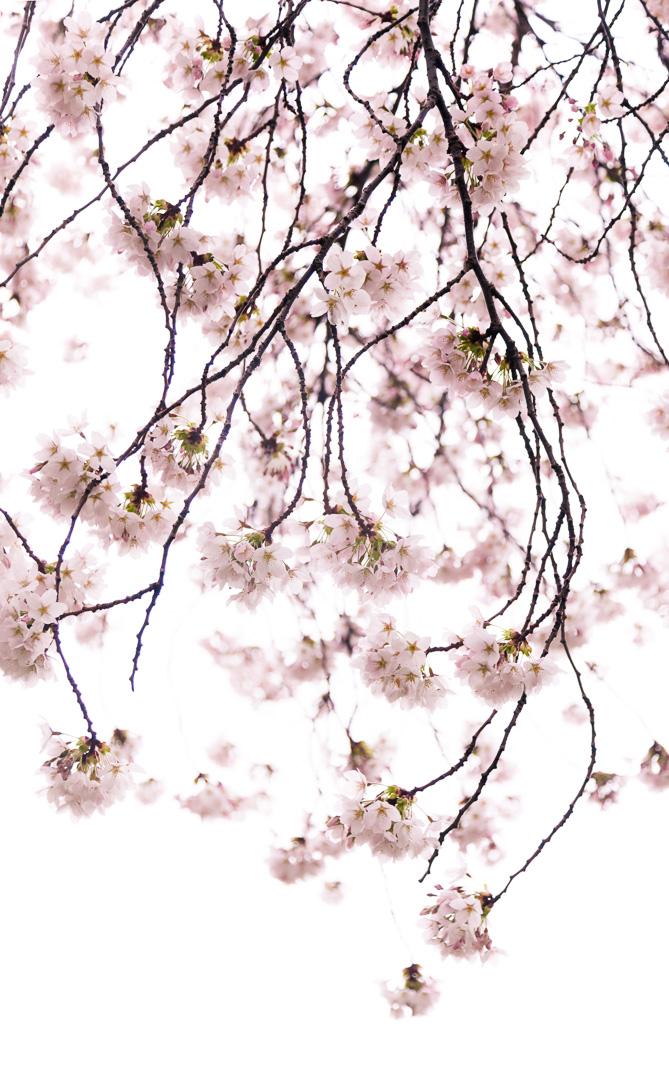 Cherry Blossoms, University of Washington, Seattle