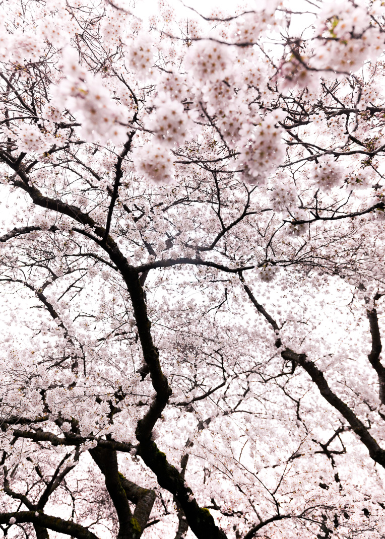 02-cherry-blossoms-033.jpg