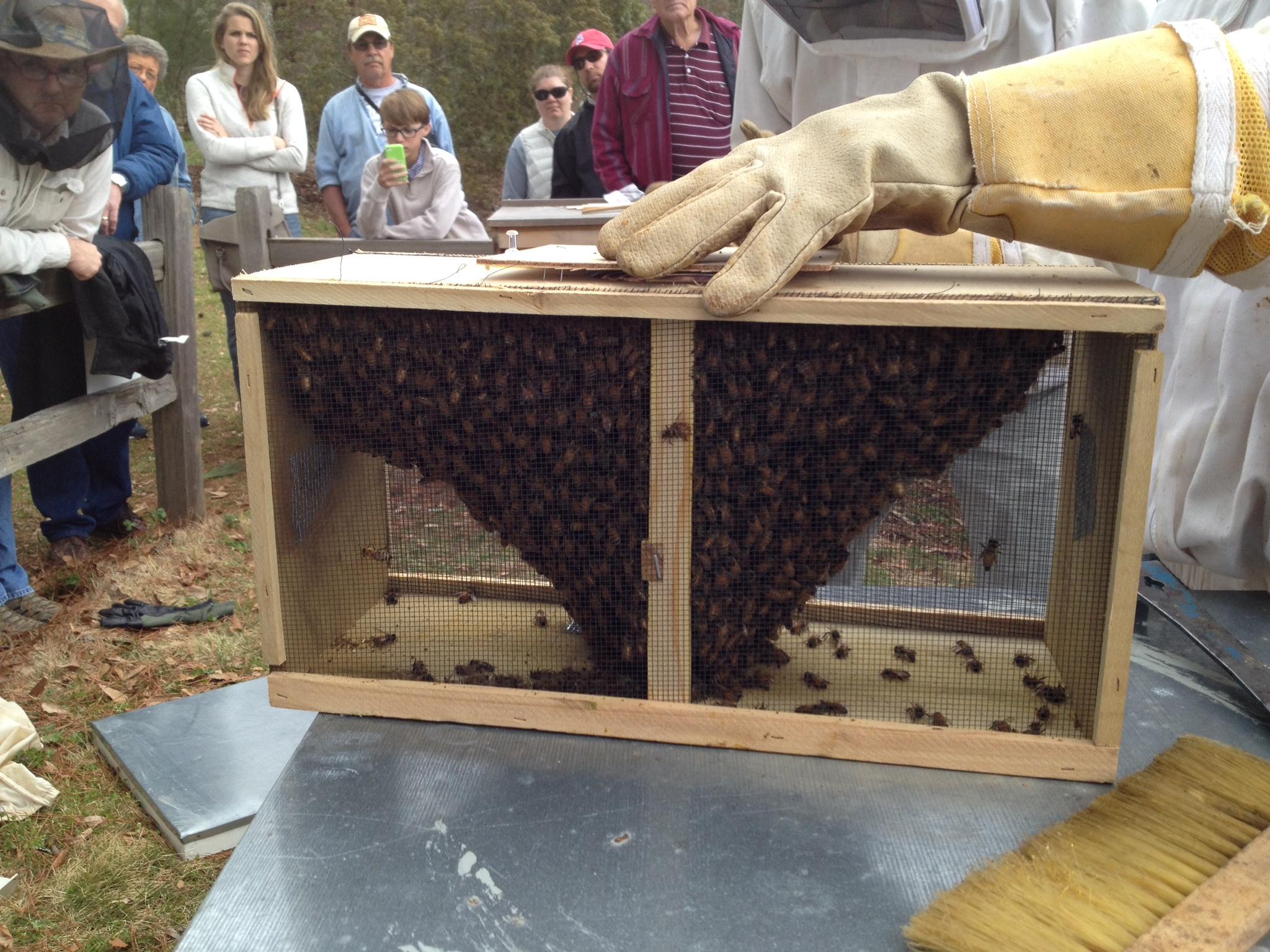 Package bees hanging around queen