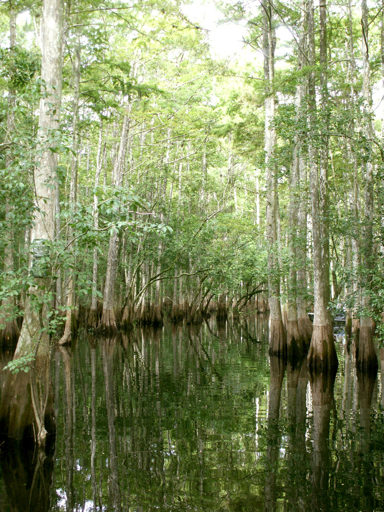 Cypress trees, growing naturally in water saturated environments