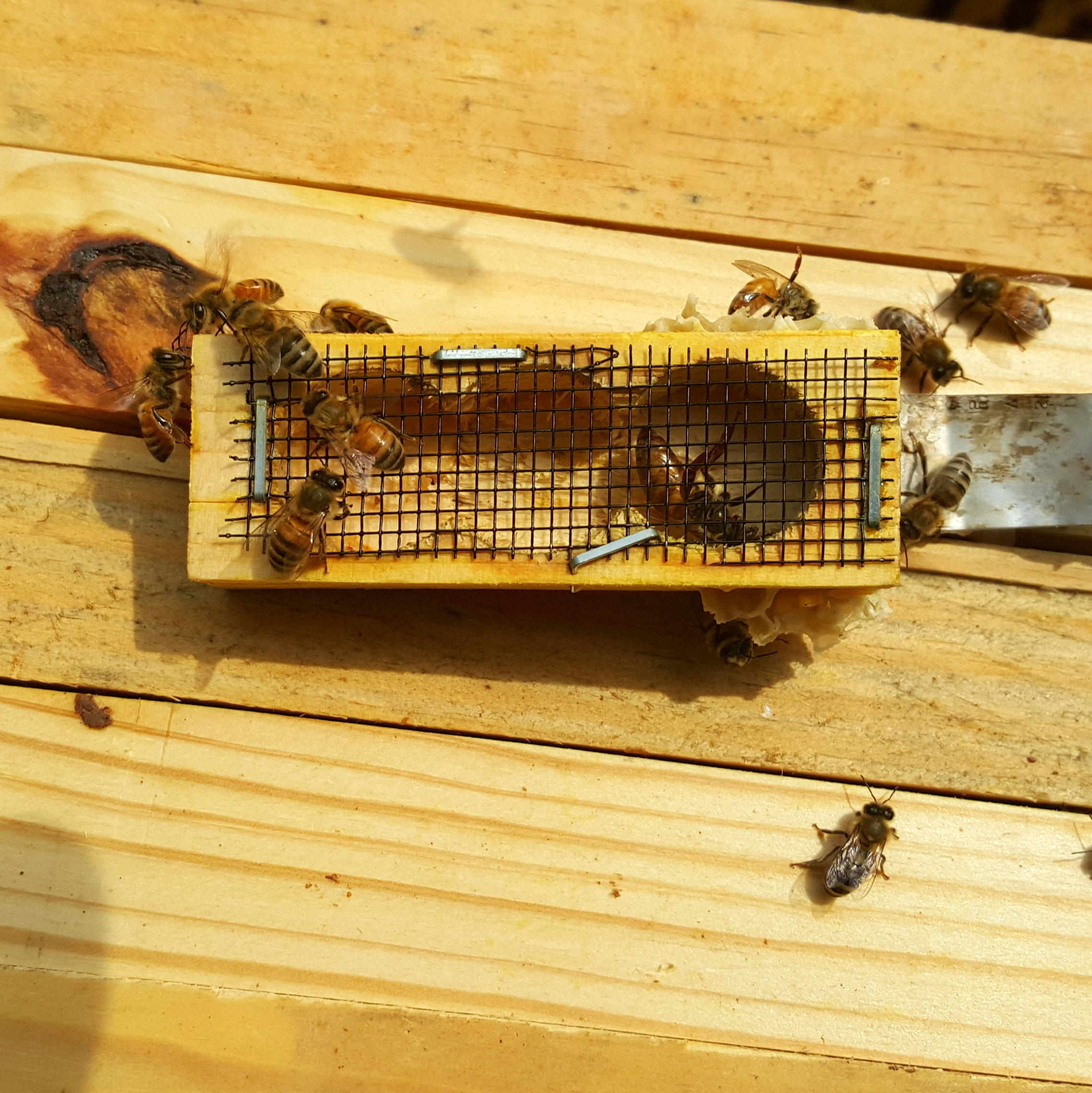 A queen cage, with only a queen in the cage. Often they have a candy/fondant plug and several worker bees with her too.