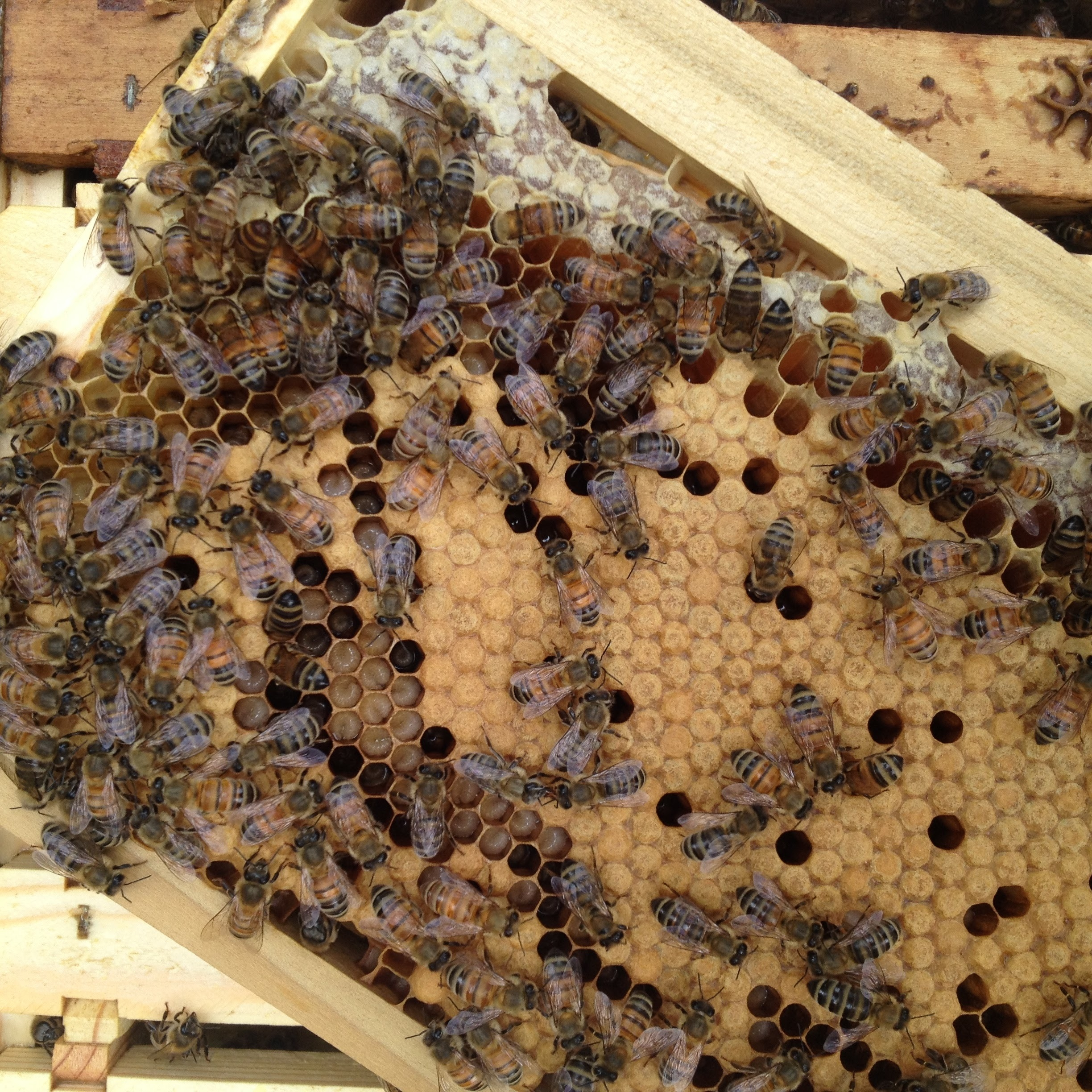 Foxhound Open Capped Brood Honey