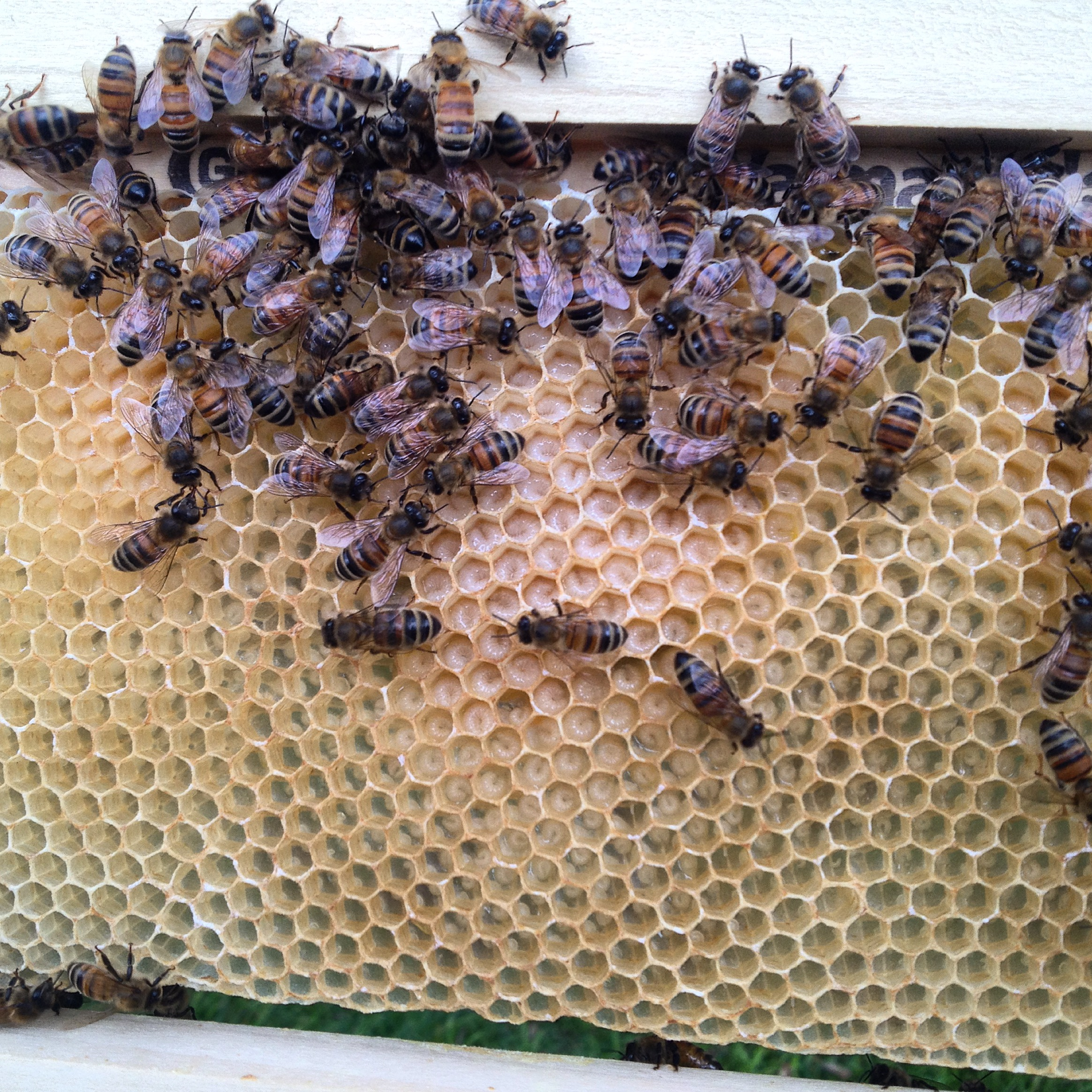 A frame of open (uncapped) brood, with eggs of the right age to be turned into a queen.