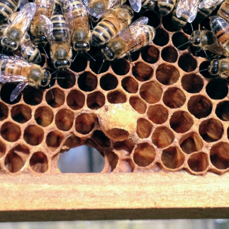 Equipment Apiculture Bee Queen Cups Queen Cell Bee Feeding Tools Beekeeping