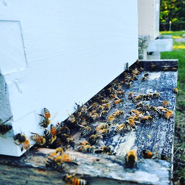 Private hive tour tonight with the good people of @shoalcreekalabama. Looking forward to opening up a few hives with a new group. If you are interested in a classes, we have a few to choose from. Send us a message if you have questions. . . . . . . . #liveatshoalcreek #beekeeping #bees #beekeeper #honeybee #savethebees #albeeks #instagrambham #alabama #nature #honey #rawhoney #buylocal #wildlife #insectsofinstagram #bee #shoalcreek #hivetour #lotsoffun #honeytasting