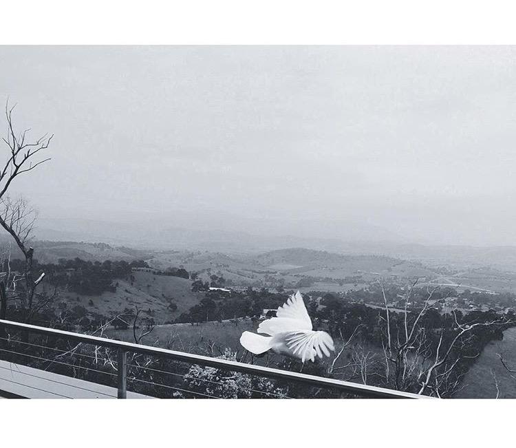 S ulphur - crested cockatoo. Skyline Road, Christmas Hills.