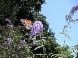 Monarch enjoying nectar from a buddleia