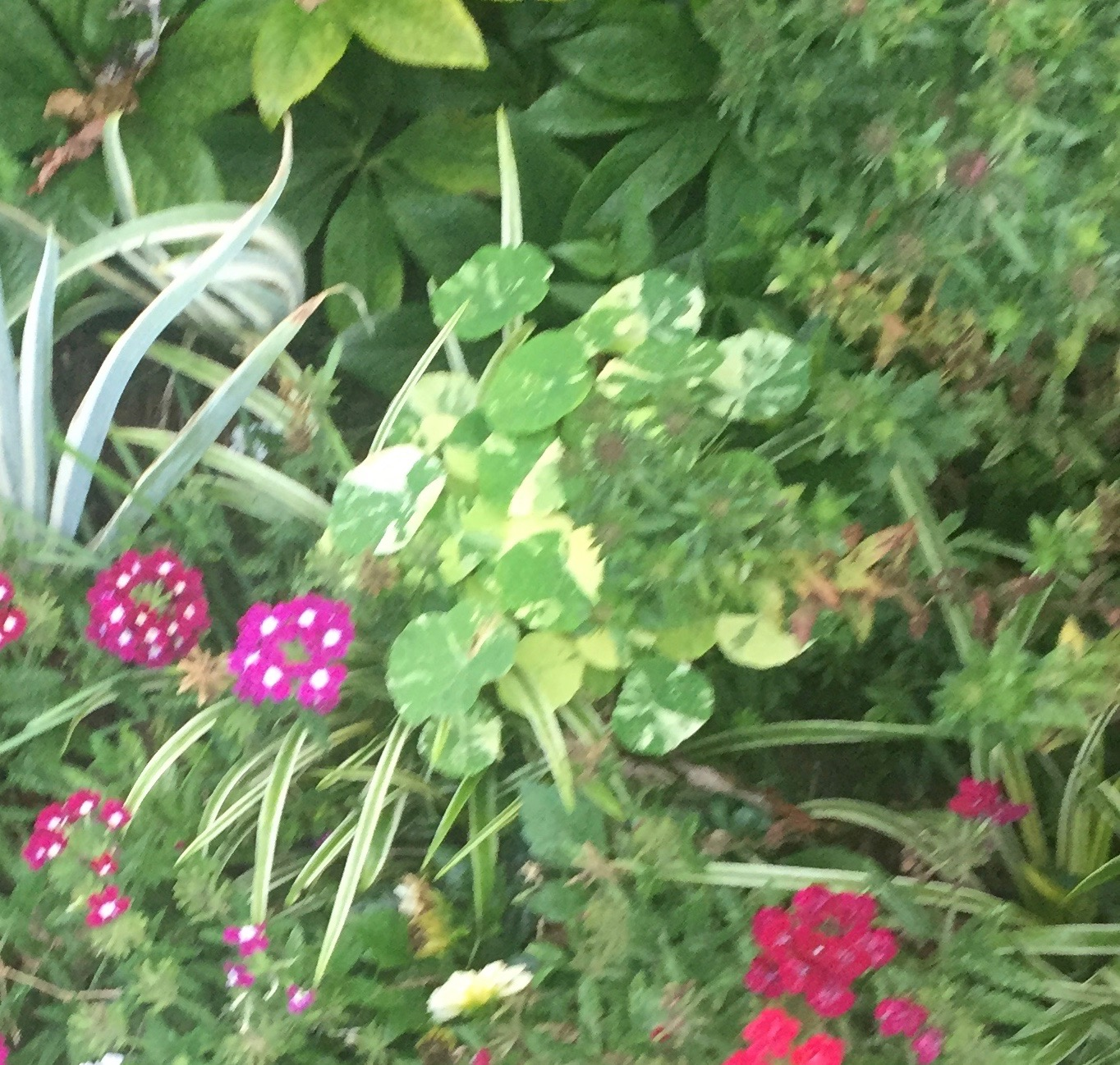 Nasturtium 'Alaska' - it's a blurry photo, but it gives a much better idea of how they really work in a real garden than the photos in seed catalogs. This was planted in a pretty shady spot and it didn't flower much (the flowers are verbena). These round leaves looked fresh and bright in this late September photo.