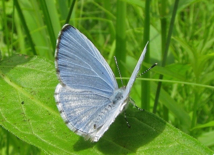 "Ros Brady writes ""While walking on a meadow trail in Haley Farm State Park (Groton, CT) today I saw a tiny blue butterfly on the damp ground. It was a Spring Azure. It is one of the very early butterflies along with Mourning Cloak and Red Admiral. I hope you will see these spring lovelies while working in the garden."""