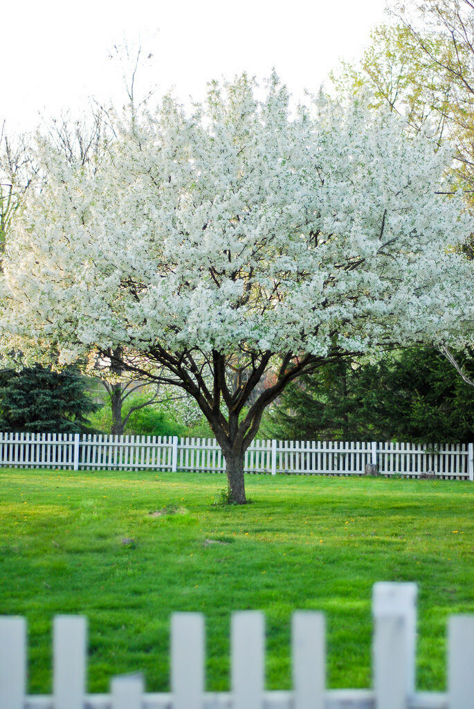 The Snowdrift crabapple is a popular ornamental tree around town.  Malus ' Snowdrift'