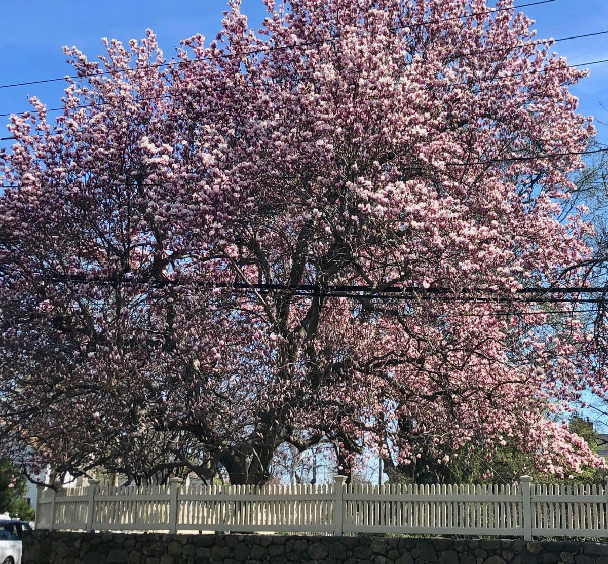 One of the most glorious spring trees in town is the enormous blossom-laden tulip magnolia,  Magnolia x soulaneana,  on the corner of Edgewater and Sound Beach Avenue, set off by a stone wall and white picket fence (too bad we can't have buried utility wires in Old Greenwich!)  I look forward to this site every spring!