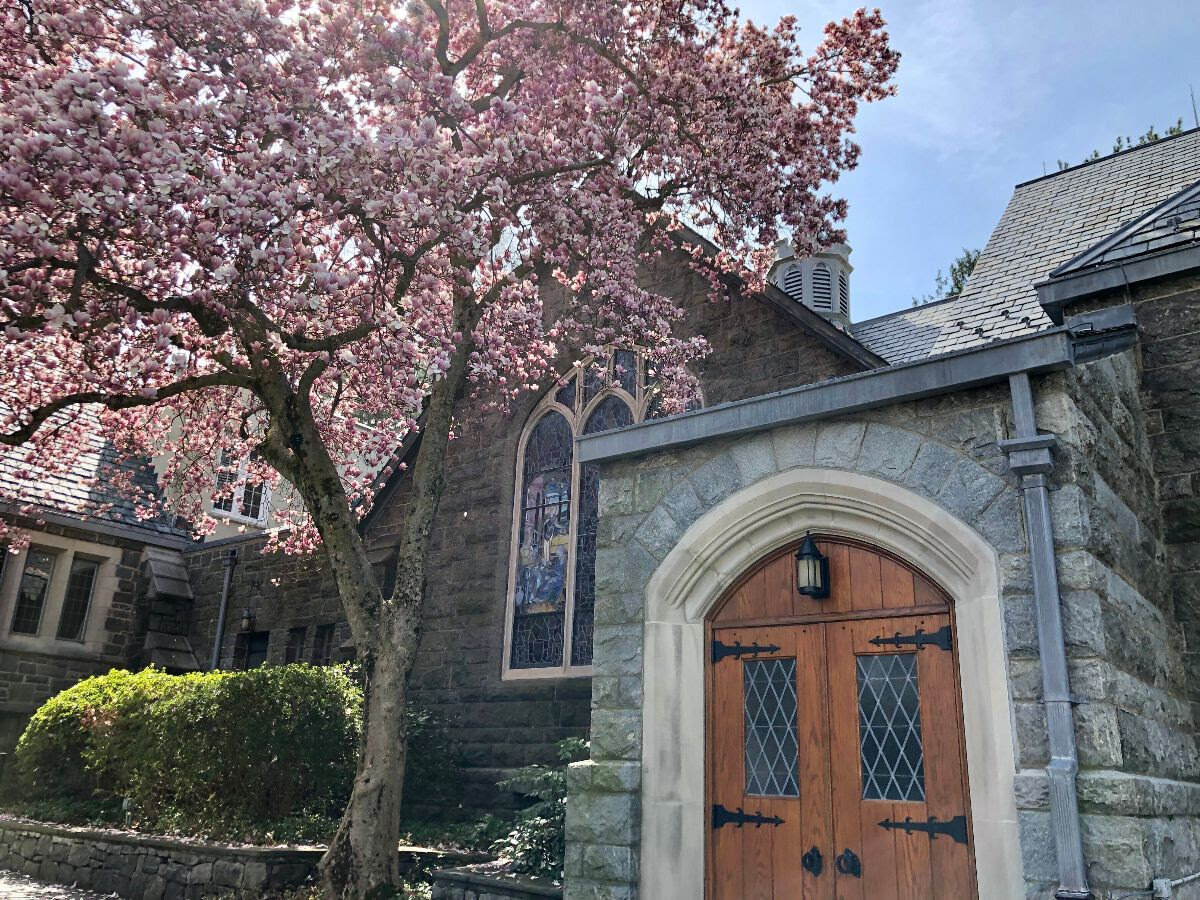 Another lovely tulip magnolia graces the First Congregational Church of Greenwich on Sound Beach Avenue in Old Greenwich.