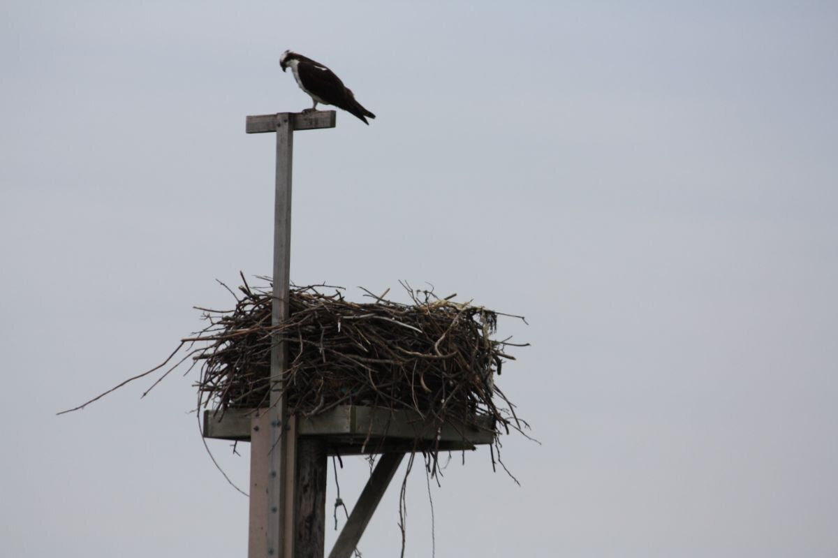"The osprey are back, too. We can see this one with binoculars from our house. We call this the ""McMansion"" of osprey nests. It withstands the winter storms."