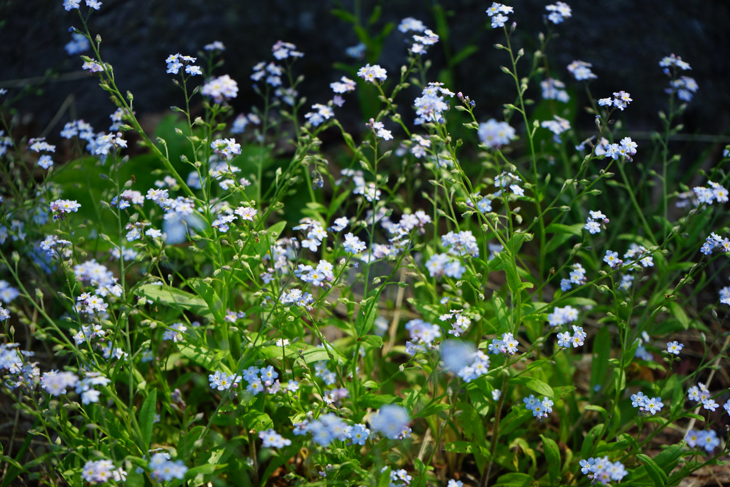 Forget-Me-Nots - Bethlehem, New Hampshire