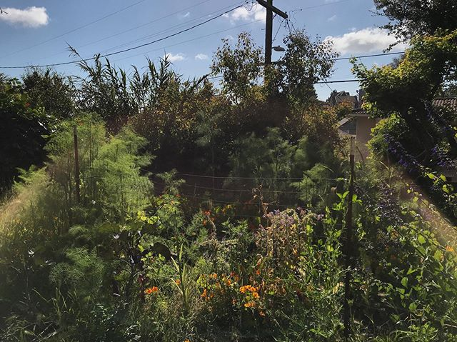 backyard fennel clouds and nasturtium carpets; sweet pea and grapevine threads woven through metal fencing; borage and viola flower glitter; oat and wheat stalk dusters #happyplace #urbangarden