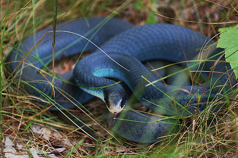 A blue racer, a snake native to Pelee Island and perhaps The variant encountered by R. Lee