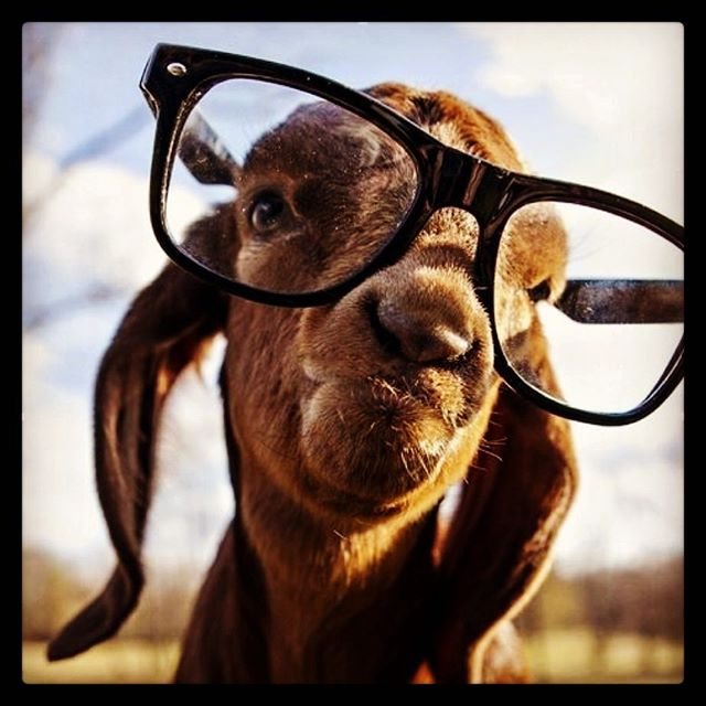 Back at the desk tomorrow. Thinking we will need a bucket of coffee to keep us going #holidaysareover #everyonelovesthegoat #nogoatnoglory #gothegoat #holygoat2017 #nonstopcoffee