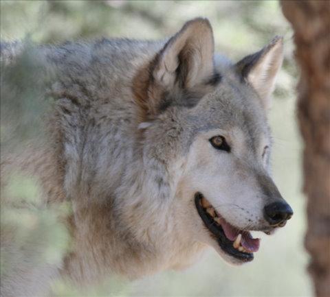 Cheyenne the healing wolf