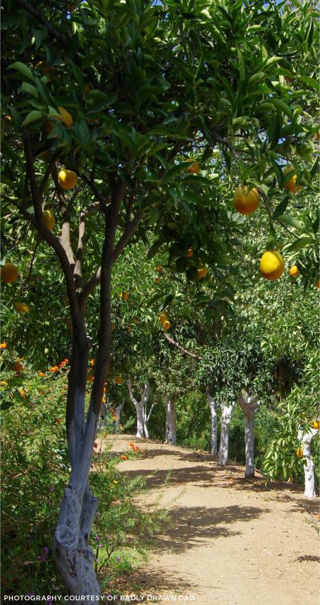 Limoncello-Lemon-Trees.jpg