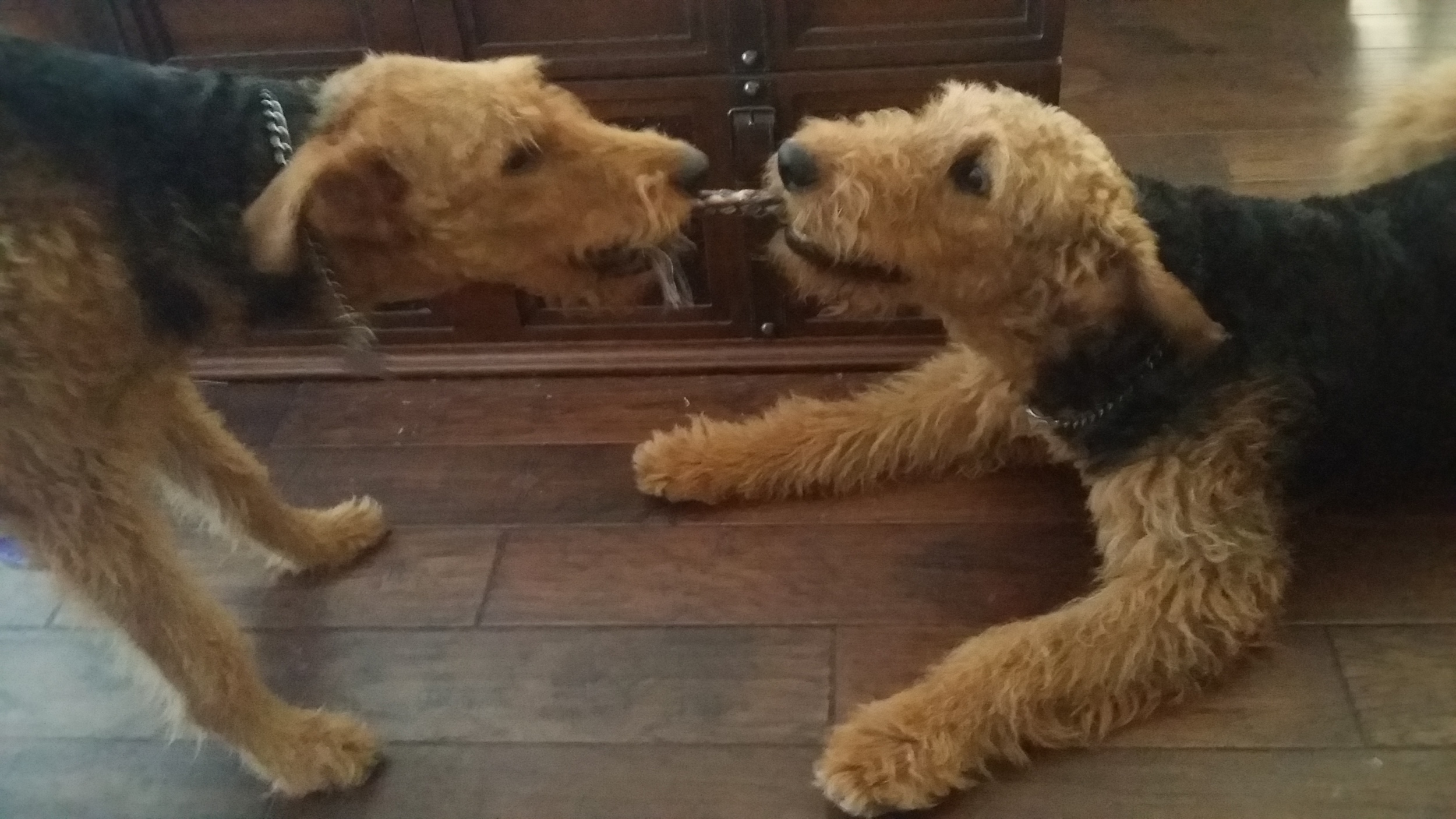 Airedales, at play