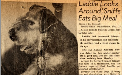 """""""Laddie Boy"""" President Harding's Airedale Terrier was the first Celebrity White House Pet"""