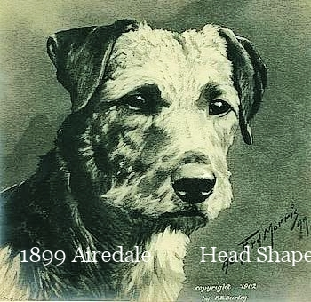 1899 Airedale Head Shape