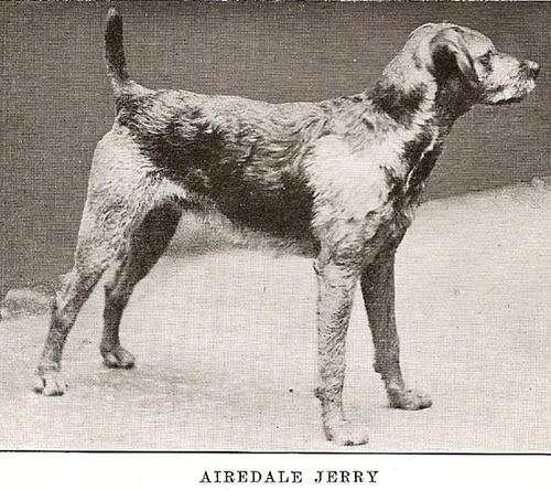 1899 Airedale Jerry