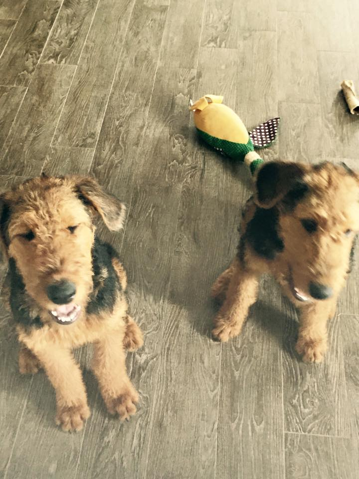 Lucky Stars and Huck Finn from Maggie's first litter. Pictures here at 5 months - Now known as Huckleberry (aka Lucky Stars)and Finnegan (aka Huck Finn)courtesy of the Sowell's. Thanks!