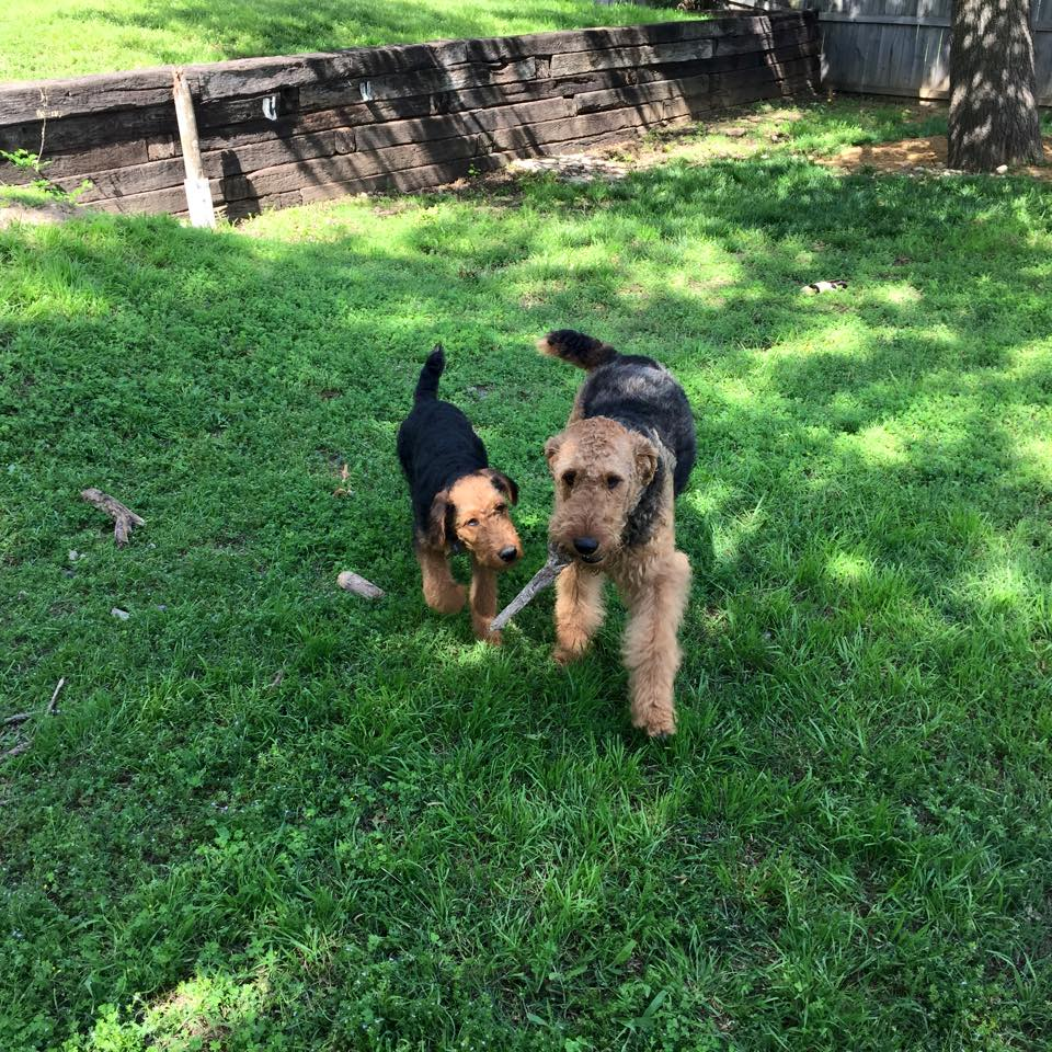Father and Son - Gates teaching his son to fetch! ( from Maggie's first litter)