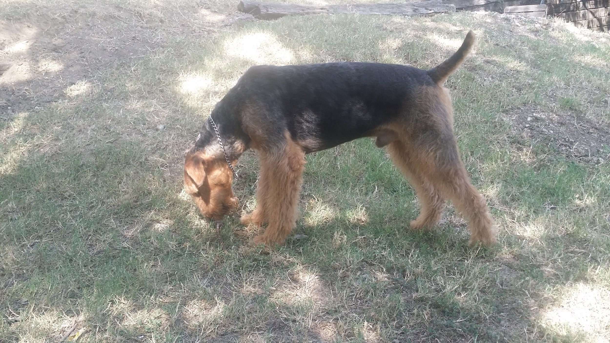 Airedale Terrier, after 1st Strip (DogwoodDales Mister Gates)