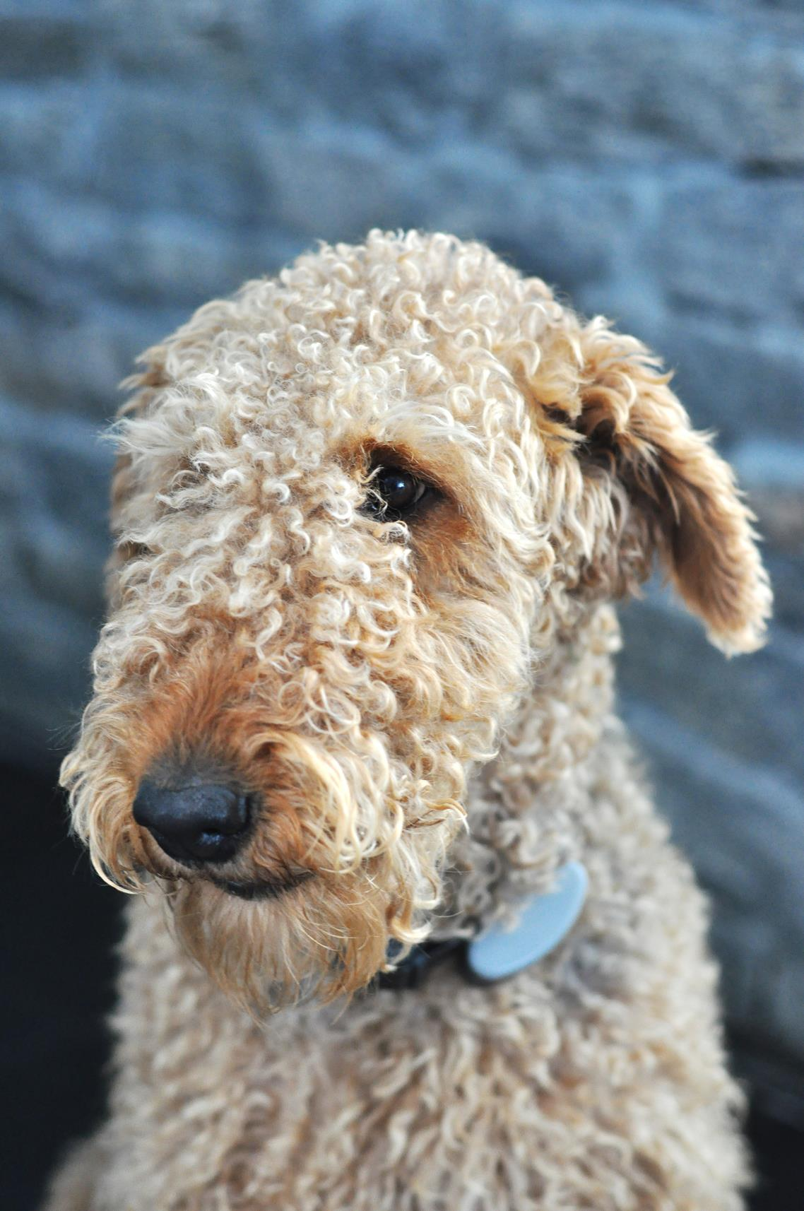 Clipped coat - Airedale Terrier, internet stock photo